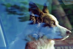Filmstar Lukes.... (A child in the night) Tags: bordercollie sheepdog luke goodlooking reflction car windscreen passenger