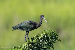 Glossy Ibis (juvenile) ©