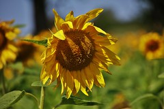 Sunflower (Hugo von Schreck) Tags: hugovonschreck sunflower sonnenblume macro makro flower blume blüte tamron28300mmf3563divcpzda010