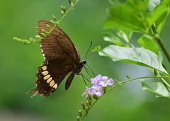 Common Mormon (sreejithkallethu) Tags: commonmormon butterflies nature naturephotography butterfliesofneeravil neeravil kollam kerala
