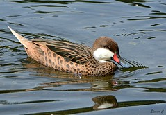 White Cheeked Pintail (Eleanor (No multiple invites please)) Tags: duck water stjamesspark london teal nikond7100 august2017 coth5