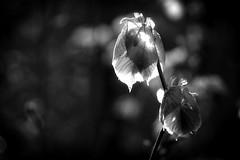 *** (pszcz9) Tags: przyroda nature natura liść leaf zbliżenie closeup światło light wiosna spring bokeh bw blackandwhite monochrome czarnobiałe beautifulearth sony a77