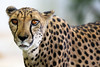 namibia 2017 (mauriziopeddis) Tags: africa namibia kamanjab ghepardo cheetah nature natura wild life wildlife cats cube felini animal animali