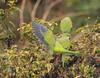 Wings (gonetil) Tags: loro cotorra pájaro aves