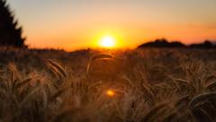 Golden ears (ElmerstarK) Tags: bokeh exterieur landscape ciel orge outdoor orange sun épis contrast barley coucherdesoleil sky ears goldenhour paysage sunset mayran occitanie france fr aveyron