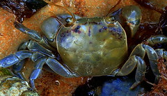 Zodiac.....CANCER THE CRAB.....Macro Mondays (Lani Elliott) Tags: nature naturephotography lanielliott macro upclose close closeup macrounlimited crab macromondays zodiac excellent awesome fantastic beautiful wow gorgeous