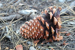 Squirrels have been busy dining on pine cones (rozoneill) Tags: lassen volcanic national park chaos crags crag lake manzanita wilderness hiking california redding