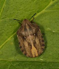 EOS 7D Mark II_052784 (gertjan.kamsteeg) Tags: animal invertebrate bug truebug heteroptera heteropteran insect eurygastertestudinaria scutelleridae tortoisebug tortoise macro