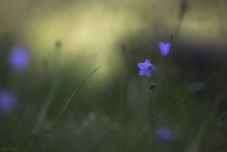 Fragile bellflower