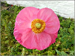 Pink Poppy.. (** Janets Photos **) Tags: uk hull plants flowers fauna poppies