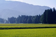 Paddy fields (joka2000) Tags: sel paddy field rice