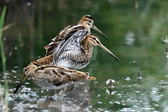 Common Snipe 2017-08-26_01 (Jan Thomas Landgren) Tags: birds bird aves animal animals avifauna djur fåglar fågel fauna halland getterön getterönnaturereserve nature natur nikon nikond500 d500 tamron tamron150600mm outdoor wildlife wetlands wetland sweden sverige gallinagogallinago snipe snipes enkelbeckasin enkelbeckasiner beckasin vadare waders wader shorebird shorebirds
