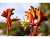 A Pawfect Start (red stilletto) Tags: barwonheads bellarinepeninsula beachshack garden plant kangaroopaws macro cottesloebeachshack