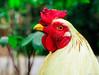 Galo - Rooster (Rhyan Fallci) Tags: galo galinha cock rooster chicken farm fazenda natureza nature amateur amador canon sx400is brazil brasil