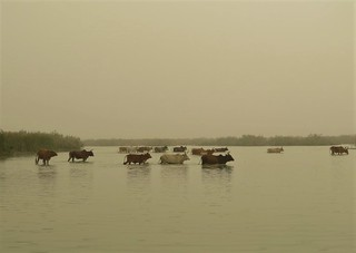 Zebu river crossing