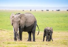DSC_6180 (stacyjohnmack) Tags: africa kenya amboseli amboselinationalpark amboselli baby elephant safari