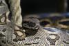 serpente a sonagli (filippo.bassato) Tags: serpenteasonagli serpente rettile sanguefreddo squame