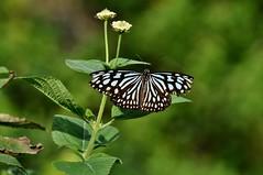 リュウキュウアサギマダラ (yuki_alm_misa) Tags: リュウキュウアサギマダラ 蝶 チヨウ 多摩動物公園 butterfly 蝶々 zoo 動物園 tamazoologicalpark