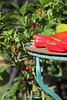 CKuchem-5623 (christine_kuchem) Tags: bauerngarten biogarten bioqualität ernte erntezeit fleischtomate garten gemüse gemüsegarten grün gurke nutzgarten paprika peperoni pflanze rarität sommer sorte sorten sortenvielfalt vielfalt zucchini bio biologisch frisch gelb gesund lecker natürlich orange reif rot selten unbehandelt