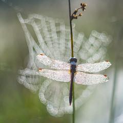 Spider bokeh. Steenrode heidelibel (Sympetrum vulgatum) (look to see) Tags: bokeh dew dauw sintmaartensheide beek bree belgium libel heidelibel dragonfly edixaxenon schneiderkreuznach vintagelens 50mm