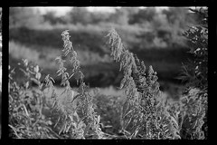 Stinging nettles (Other dreams) Tags: late summer pomerania nettles grass meadow field bokeh isolatedsubject sprocketholes bw film canonp ltm canon1850 rural weeds