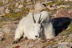 A sleepy Mountain Goat nanny