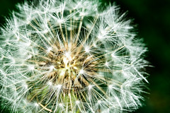 Dandelion clock (abiward) Tags: dandelion seedhead blowball taraxacum macro macrophotography closeup flower garden autumn nikon