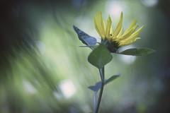 Sonnenhungrig... (angelika.kart) Tags: natur pflanzen blüte bokeh sonnenblume grün gelb