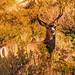 Mule Deer Buck  the Eastern Sierra Nevadas