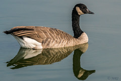 Reflecting Goose (MelRoseJ) Tags: sanrafael california unitedstates us lasgallinas birds bayarea a77ii alpha autofocus sonyalpha sony sal70400g sonyilca77m2 nature canadiangoose