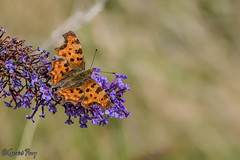 Comma (parry101) Tags: south wales southwales nature geraint parry geraintparry wildlife close closeup sigma animal 105mm macro macros sigma105mm butterfly butterflies insect insects comma