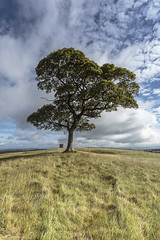 Just another lonely tree shot (andyrousephotography) Tags: lymepark nationaltrust estate grounds tree lonely hilltop grass blowing breezy clouds fluffy white thecage walk andyrouse canon eos 5dmkiii 5d3 ef1740mmf4l