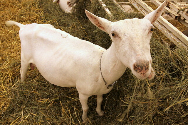 2017 TN State Fair: Hungry Goat