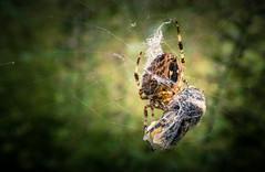 Ende Gelände (O.I.S.) Tags: kreuzspinne spinne spider araneus arachnid cross grün green death tod natur nature hummel bumblebee bombus macro makro canon m3 11 22 1122