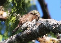 Northern Pygmy Owl (Glaucidium gnoma) (Greg Miles) Tags: northernpygmyowl glaucidiumgnoma sproatlake vancouverisland britishcolumbia canada