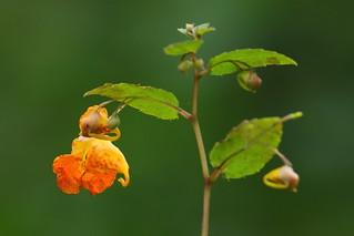 Orange Balsam on bank of River Meon, Titchfield, UK