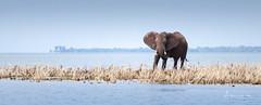 Or That Way 2 (Alec Lux) Tags: africa kariba zimbabwe adventure elephant elephants herd lake lakekariba landscape landscapephotography mammals nature naturephotography ripples travel traveling water waves wildlife wildlifephotography mashonalandwestprovince zw