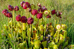 Pitcher Plant (Sarracenia purpurea), New Forest (ζoetrope) Tags: newforest carnivorous plant exotic invasive species nonnative insectivorous pitcher hampshire