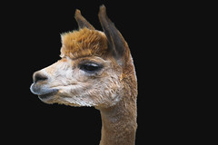 Wemmel : Jaarmarkt 2017 #35 (foto_morgana) Tags: alpaca belgique belgium belgië headshot jaarmarkt2017 mammalia mammals mammifères nature säugetiere wemmel zoogdieren