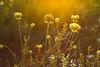 Golden flare (Meastrology) Tags: glow glowing glühen golden gold gelb gras grass green grün sunset sonne sun schön sonnenuntergang sunrise sonnenaufgang spring strahlen schönheit sunlight sunshine canon light licht leuchten lense lenseflare landscape landschaft leaves flower frühling flowers focus bokeh beauty beautifull blume blossom blüte blossoms blumen blüten belichtung beaming beam magic magical magisch macro makro morgenrot morning