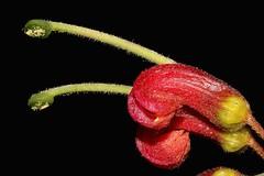 Grevillea banyabba (andreas lambrianides) Tags: grevilleabanyabba proteaceae endangeredspecies australianflora australiannativeplants grevillespecies wildflowers redflowers