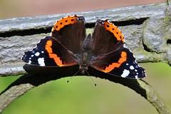 Red Admiral (Vanessa atalanta) (Hugo von Schreck) Tags: hugovonschreck macro makro schmetterling butterfly falter admiral vanessaatalanta insect insekt tamron28300mmf3563divcpzda010 canoneos5dsr ngc