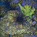 Sea Urchin in Jerusalem-Biblical-Zoo-IZE-255