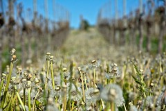 Gone in the wind (fnumrich) Tags: flower dandelion wineyard spring white