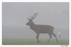 Dans la brume du petit matin. (C. OTTIE et J-Y KERMORVANT) Tags: nature animaux mammifères cervidés cerf parcanimalier france