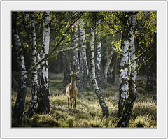 Forest Light. (muddlemaker1967) Tags: hampshire wildlife photography thenewforest national park red deer birch trees morning light leaves heather nikon d700 nikkor 200500mm f56