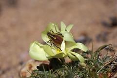 Clania sp.? (Scarabaeidae: Melolonthinae/Rutelinae: Hopliini) on Grielum humifusum (Neuradaceae) (yakovlev.alexey) Tags: namaqualand namaquanp southafrica scarabaeidae rutelinae hopliini melolonthinae
