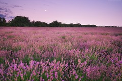 Meadow of lavender. Nature composition. (Igor Goncharenko) Tags: lavender field meadow landscape nature flower purple blue beauty agriculture plant perfume farm color vacation travel background countryside dawn sky outdoors garden twilight land outdoor lavendar violet row plants france summer provence rural country botany leaf scent night relax mountain lawn europe scene bright floral spring vibrant hill moon nobody