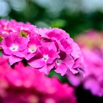Pink in the Garden thumbnail