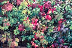 HFF 😀 (martinap.1) Tags: hff happyfencefriday fencedfriday nikon d3300 40mm colourful bunt herbst herbstfarben